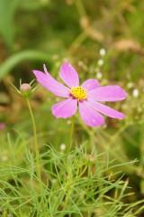 コスモスの花(ピンク)2