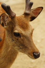 奈良の鹿・ナナメ1