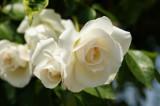 バラ 花(万博公園)・白1