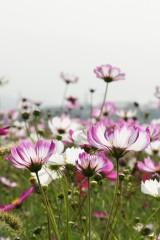 コスモス 花畑10