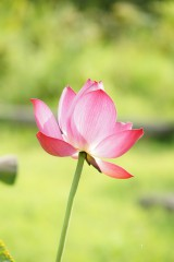 蓮 花15