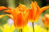 チューリップ 花 オレンジ2