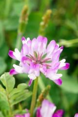 れんげの花2