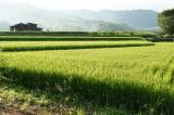 風景 水田