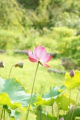 蓮 花13