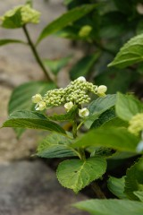 アジサイ 花 つぼみ1