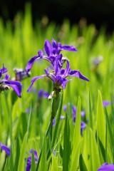 カキツバタの花・複数・紫5