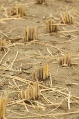 稲を刈り取った跡2