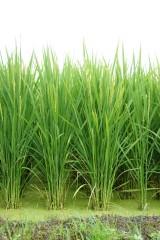 水田・夏の稲1