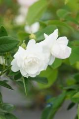 バラの花・白1