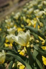 白いチューリップ 花畑1
