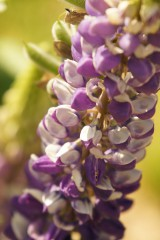 ルピナスの花・紫と白