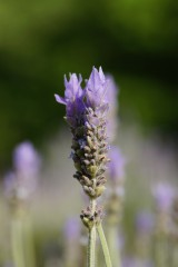 ラベンダーの花1