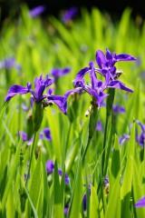カキツバタの花・複数・紫3