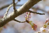明日香村・石舞台の桜2