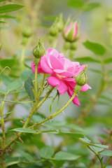 バラの花(ピンク)・つぼみ・一輪