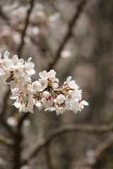明日香村・石舞台の桜5