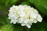 アジサイの花・白1