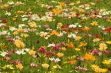 ユリ 花畑