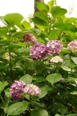 アジサイの花・紫7