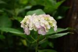 アジサイの花・ピンクと黄色1