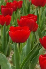 チューリップ(赤)の花畑4