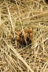 稲を刈り取った跡3