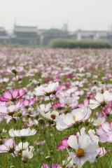 コスモス 花畑7
