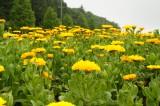 ポットマリーゴールドの花畑・黄色2