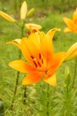 ユリ 花とつぼみ・オレンジ3