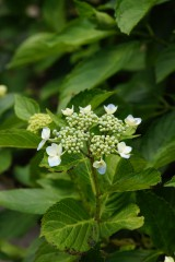 アジサイ 花 つぼみ2