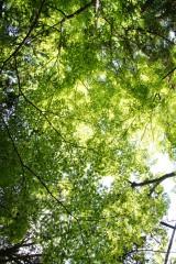 もみじ 葉3・緑