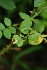 虫に食べられたバラの葉