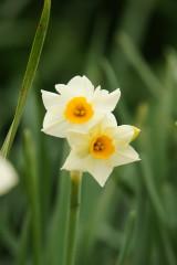 水仙 花 2つ 1