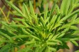 キバナコスモス 葉