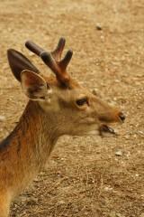 奈良の鹿・側面14