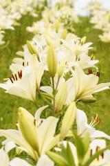 ユリ 花とつぼみ・白7
