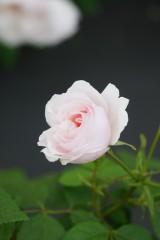バラ 花・薄いピンク