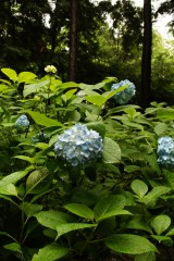 アジサイの花・青・薄紫16