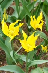 チューリップ 花 黄色3