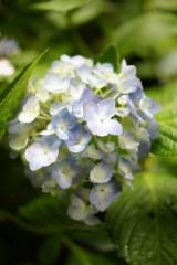 アジサイの花・青・薄紫20