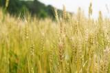 麦の穂(茶色)1