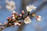 明日香村・石舞台の桜15