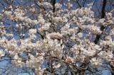 明日香村・石舞台の桜26