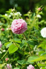 バラの花・ピンク1
