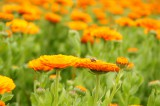 ポットマリーゴールドの花畑・オレンジ2