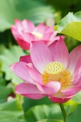 蓮 花12