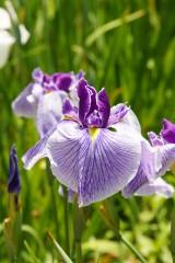 ショウブ 花・紫4