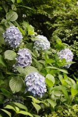 アジサイの花・青・薄紫19