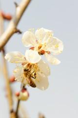 梅の花・ハチ2